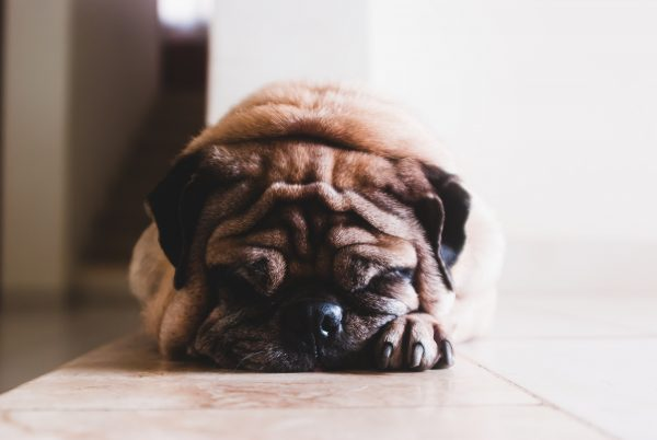 Pug Napping - Importance of Diet for Dogs and Cats